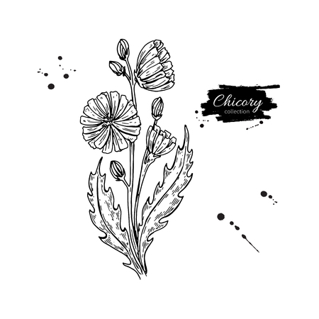Chicory flower hand drawn illustration.