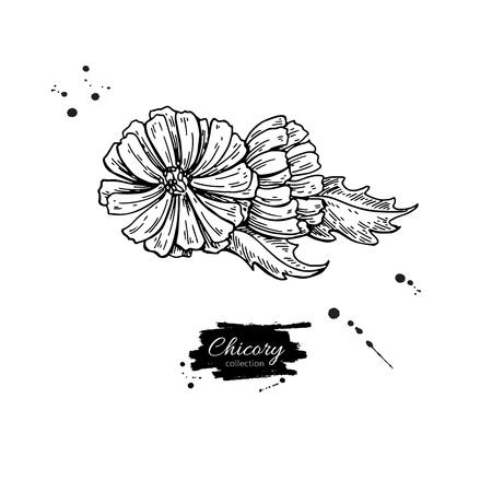 De bloem hand getrokken illustratie van het witlof. Stockfoto - 88316890