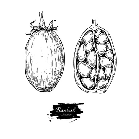Baobab fruit hand drawn illustration.