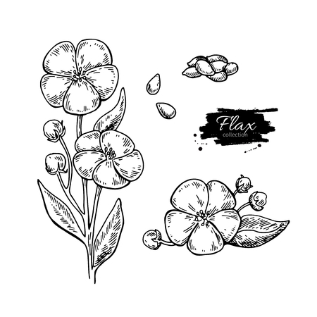 Flax flower and seed vector superfood drawing set. Isolated hand