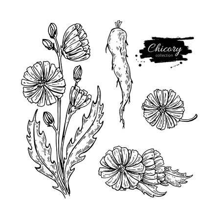 Chicory flower, root and seed superfood drawing set. Ilustracja
