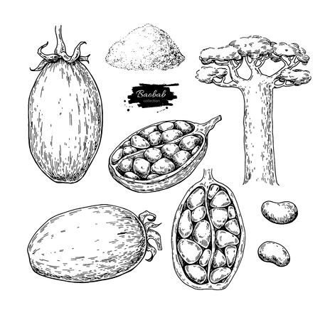Baobab superfood hand drawn illustration. Illustration
