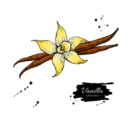 Vanilla flower and bean stick vector drawing. Hand drawn sketch food illustration isolated on white. Artistic style spice and flavor object. Cooking and aromaterapy ingredient. Ilustração