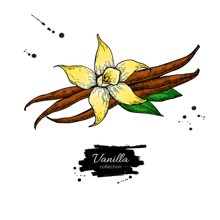 Vanilla flower and bean stick vector drawing. Hand drawn sketch food illustration isolated on white. Artistic style spice and flavor object. Cooking and aromaterapy ingredient. Illustration