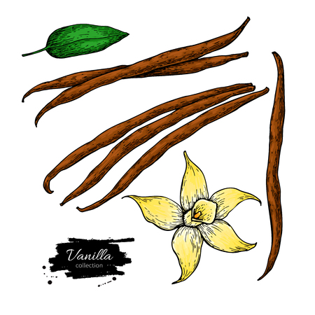 Vanilla flower and bean stick drawing.