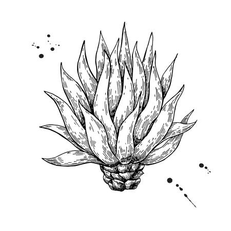 青いリュウゼツラン。テキーラ成分ベクトルを描画します。メキシコの植物のイラストを彫刻します。ラベル、ポスター、バナーの植物のスケッチ