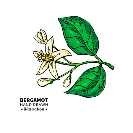 Bergamot flower branch vector drawing. Isolated vintage illustration of citrus blooming flower. Organic fruit. Essential oil sketch. Beauty and spa, cosmetic and tea ingredient. Great for label, poster, flyer, packaging design.