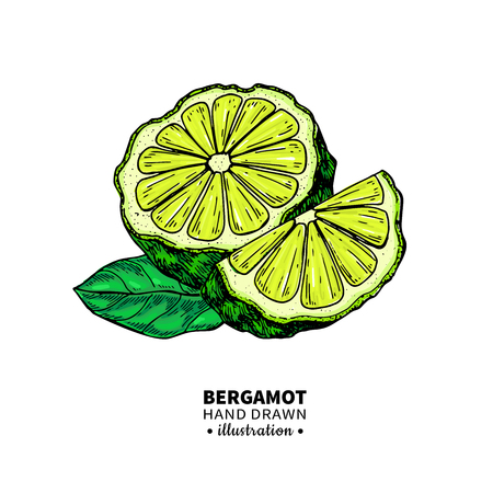 Bergamot vector drawing. Isolated vintage  illustration of citrus fruit with slices. Organic food. Essential oil colorful sketch. Beauty and spa, cosmetic and tea ingredient. Great for label, poster, flyer, packaging design. Ilustracja
