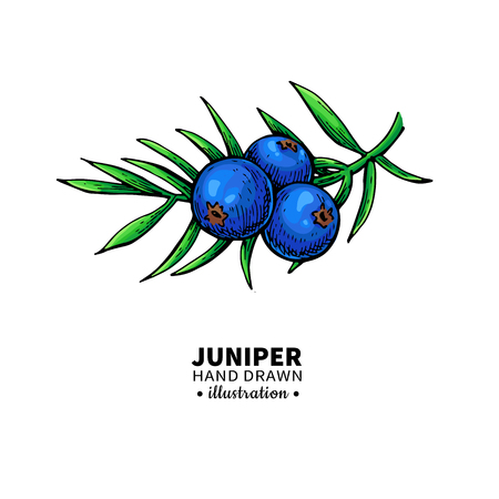 Juniper vector drawing. Isolated vintage  illustration of berry on branch. Organic essential oil sketch. Beauty and spa, cosmetic ingredient. Great for label, poster, flyer, packaging design. Illustration