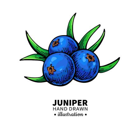 Juniper vector tekening. Geïsoleerde vintage illustratie van bessen Stockfoto - 91210554
