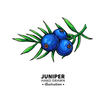 Juniper vector tekening. Geïsoleerde vintage illustratie van bessen