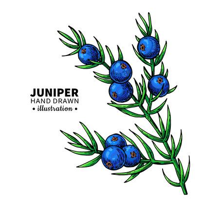 Juniper vector tekening. Geïsoleerde uitstekende illustratie van bes Stockfoto