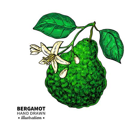 Dibujo vectorial de bergamota. Ilustración vintage aislado de cítricos Foto de archivo - 91429117