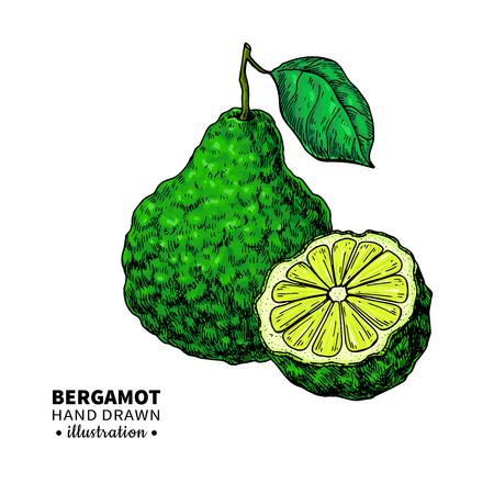 Dibujo vectorial de bergamota. Ilustración vintage aislado de cítricos Foto de archivo - 91429116