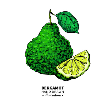 Bergamot hand drawing illustration.