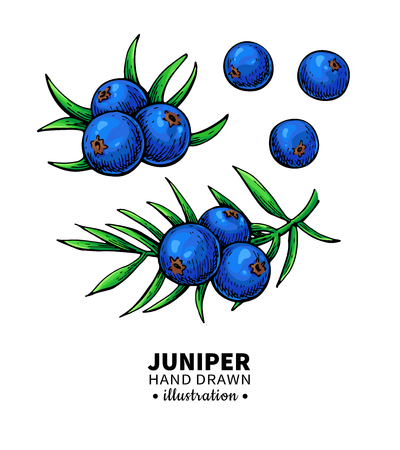 Juniper vector drawing. Isolated vintage  illustration of berry on branch. Organic essential oil  sketch. Beauty and spa, cosmetic ingredient. Great for label, poster, flyer, packaging design.