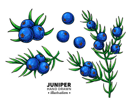 Juniper vector drawing. Isolated vintage  illustration of berry Illustration