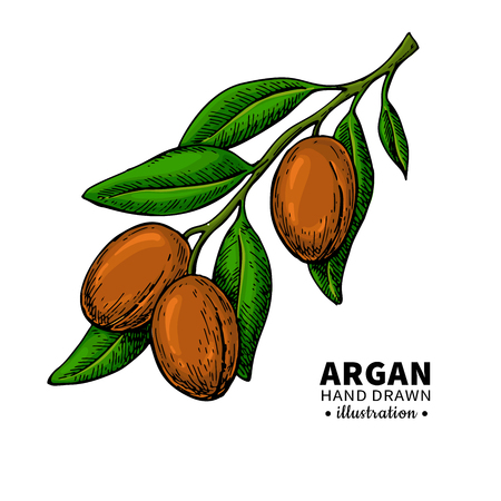 Argan vector drawing.  Organic essential oil sketch.
