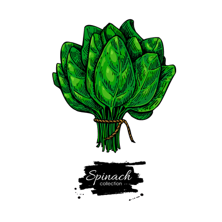 Spinach bunch hand drawn vector. Vegetable illustration. Isolated  leaves drawing on white background. Detailed botanical drawing. Farm market product. 일러스트