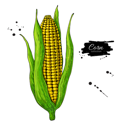 Corn cob hand drawn vector illustration.  Detailed vegetarian food drawing. Farm market product. Great for menu, label, icon. Isolated Vegetable object.