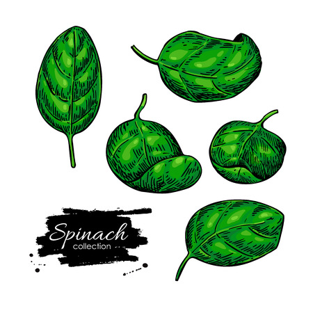 Spinach leaves hand drawn vector set. Vegetable illustration. Isolated drawing on white background. Detailed botanical drawing farm market product. Illustration