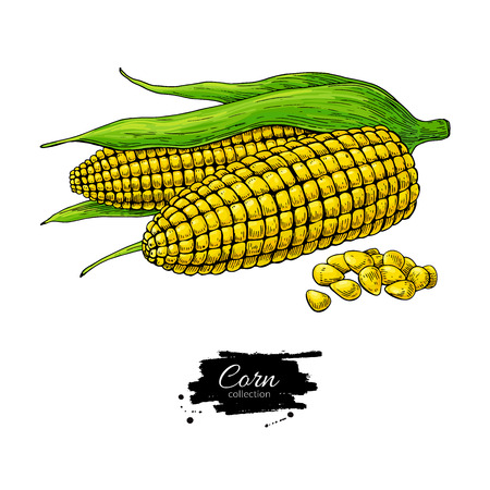 Corn hand drawn vector illustration. Isolated Vegetable object. Detailed vegetarian food drawing. Farm market product. Great for menu, label, icon Vettoriali