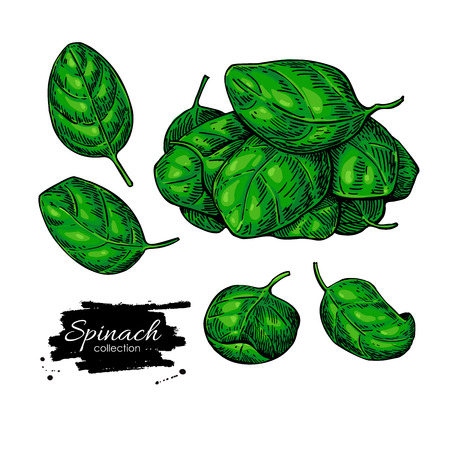 Spinach leaves hand drawn vector set. Vegetable  illustration. Isolated drawing on white background. Detailed botanical drawing. Farm market product