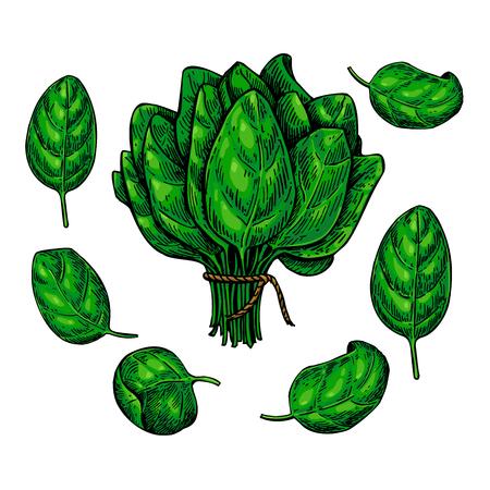 Spinazie bladeren hand getrokken vector set. Plantaardige illustratie. Geïsoleerde tekening op witte achtergrond. Gedetailleerde botanische tekening. Farm market product