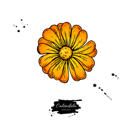 Calendula vector drawing. Isolated medical flower and leaves.