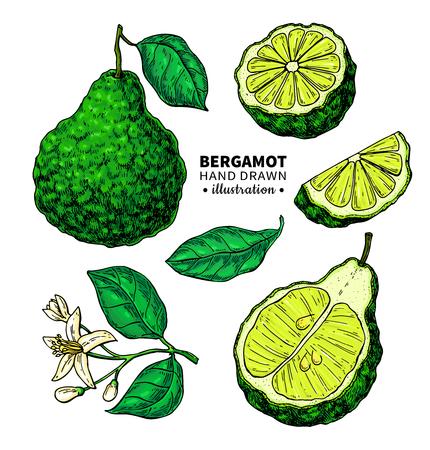 Bergamot vector drawing. Isolated vintage illustration of citrus. Ilustração