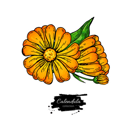 Calendula vector drawing. Isolated medical flower and leaves. Herbal illustration. Detailed botanical sketch for tea, organic cosmetic, medicine, aromatherapy