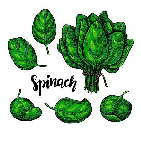 Spinach leaves hand drawn vector set. Vegetable illustration.