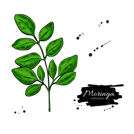Moringa leaves. Vector superfood  branch drawing. Isolated hand drawn illustration on white background. Organic healthy food. Great for banner, poster, label, sign Stock Vector - 93594070