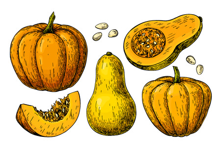 Pumpkin and butternut squash vector drawing set.  イラスト・ベクター素材
