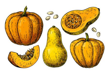 Pumpkin and butternut squash vector drawing set. 矢量图像