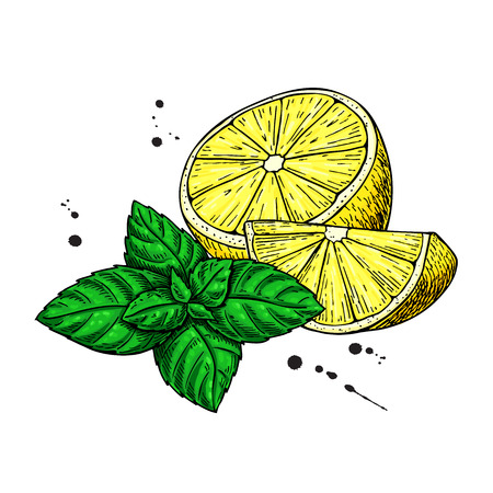 Lemons and mint vector drawing.  Hand drawn sliced fruit piece and leaves. Isolated on white background. Detailed illustration for mojito drink, lemonade, tea label