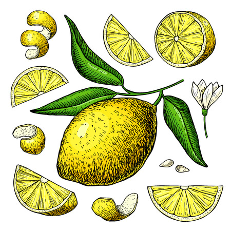 Lemon vector drawing. Summer fruit artistic illustration.