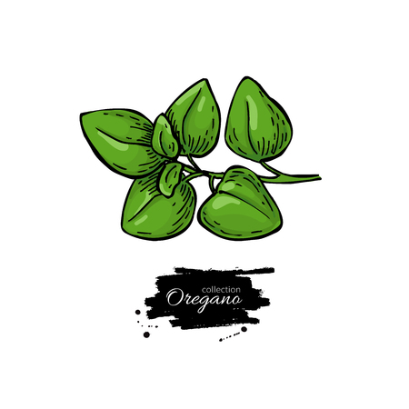 Oregano vector drawing. Isolated Herb plant branch with leaves.