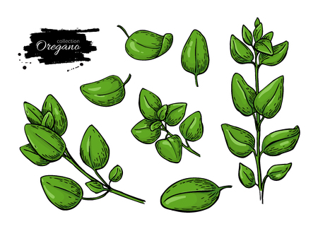 Oregano vector drawing. Isolated Herb plant branch with leaves. Hand drawn illustration. Detailed organic product sketch. Cooking spicy ingredient