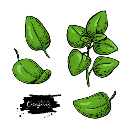 Oregano vector drawing. Isolated Herb plant branch with leaves. Stok Fotoğraf - 95691548