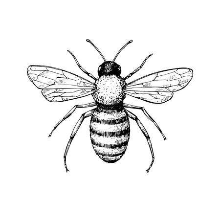 Honingbij vintage vector tekening. Hand getekend geïsoleerde insect ske