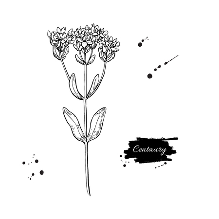 Centaury vector drawing. Hand drawn herb sketch.