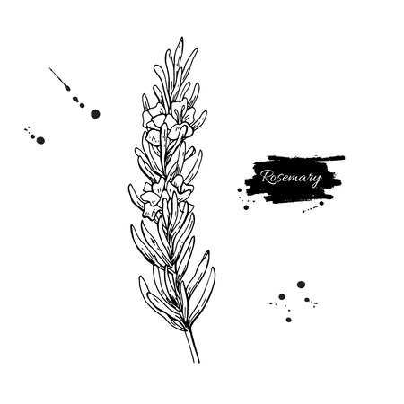 Rosemary vector drawing. Hand drawn blooming herb sketch. Vettoriali