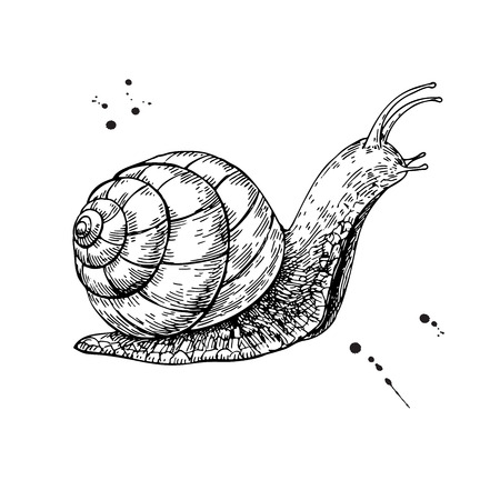 Snail vector drawing. Hand drawn isolated sketch.  Vector illustration.