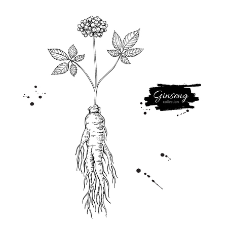 Ginseng root and berry vector drawing. Medical plant sketch.