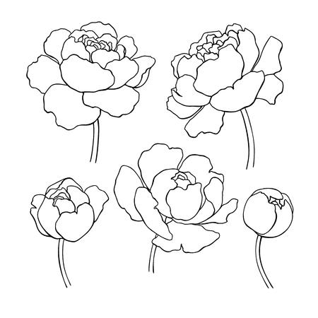 Rysowanie linii piwonii. Wektor ręcznie rysowane konspektu kwiat zestaw.