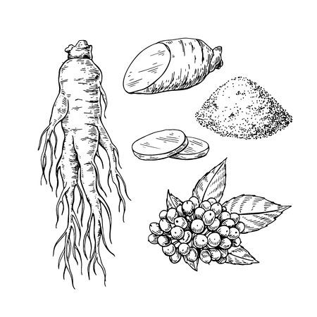 高麗人参ベクトル描画。医療プラントスケッチ。彫刻された植物のオブジェクト。手描きの根、ベリー、スライスとパウダー。代替医療、美容、化  イラスト・ベクター素材