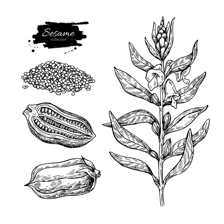 Sesame plant vector drawing. Hand drawn food ingredient. Botanical sketch of herb with seed. Agriculture grain engraved object. Culinary condiment. Great for packaging design, label, icon, oil jar.