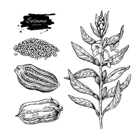 Vektorzeichnung der indischen Sesampflanze. Handgezeichnete Lebensmittelzutat. Botanische Skizze des Krauts mit Samen. Landwirtschaftskorn gravierte Gegenstand. Kulinarisches Gewürz. Ideal für Verpackungsdesign, Etikett, Symbol, Ölglas. Vektorgrafik