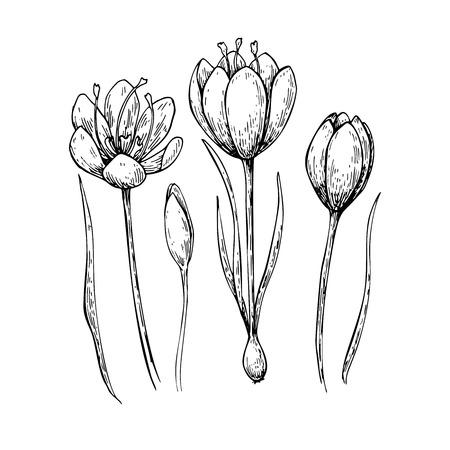 사프란 꽃 벡터 드로잉. 손으로 그린 허브와 음식 향신료. 새겨진 빈티지 풍미. 크 로커 스 식물 스케치 포장 디자인, 라벨, 아이콘에 적합합니다. 스톡 콘텐츠 - 97472039